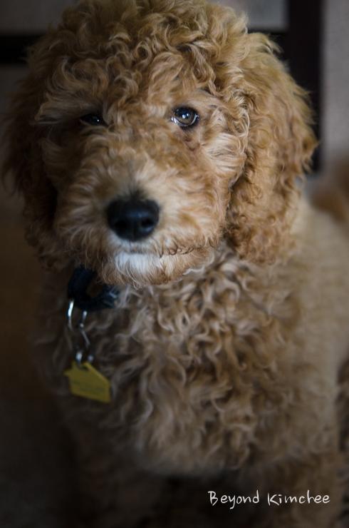 Nabi, the labradoodle puppy